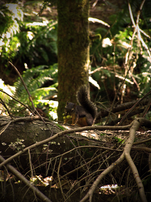 Squirrel in North Shore rainforest on Grouse Mountain in Vancouver