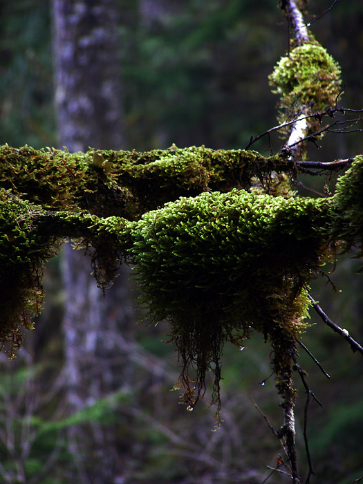 Moss on inland rainforest trees in Revelstoke