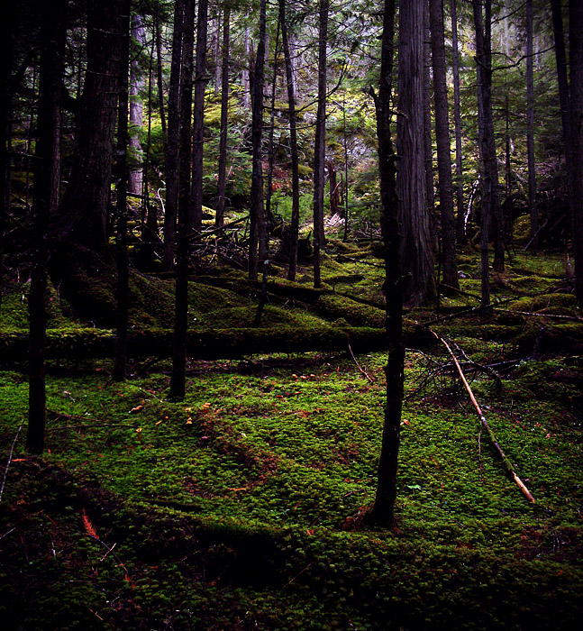 Clearing among inland rainforest trees in Revelstoke