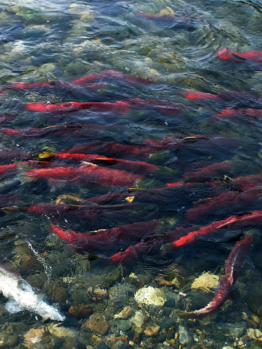 Red and green swimming salmon