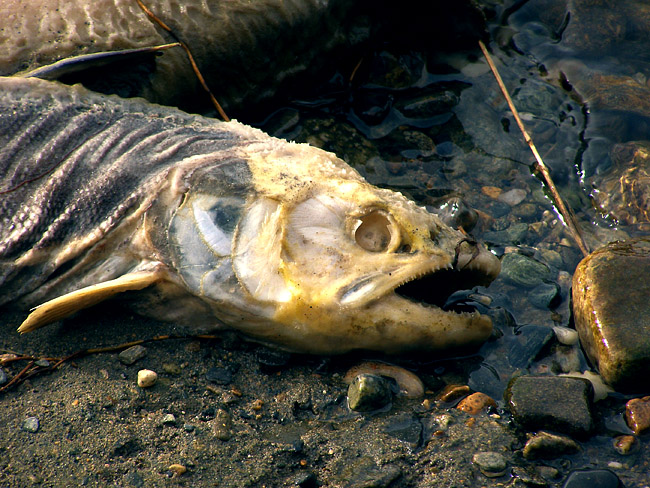 Dead salmon close-up