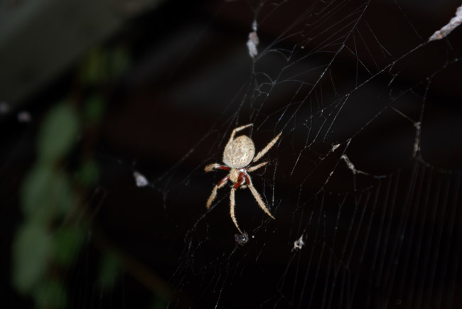 Orb-weaving spider macro in Adelaide, South Australia