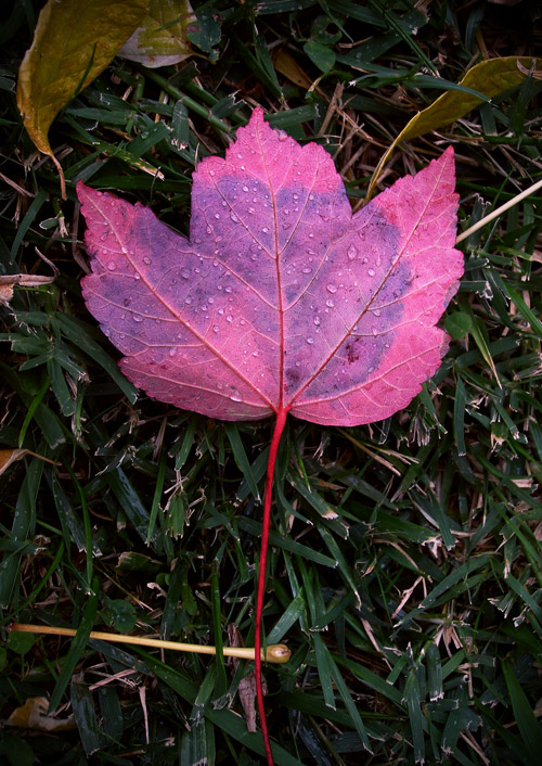 Vibrant Autumn-red leaf