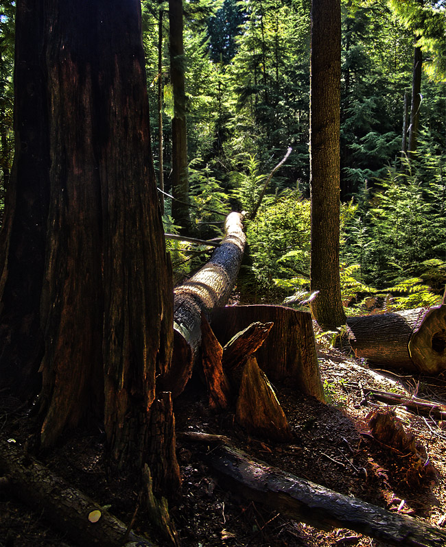HDR photo of North Shore rainforest on Grouse Mountain in Vancouver
