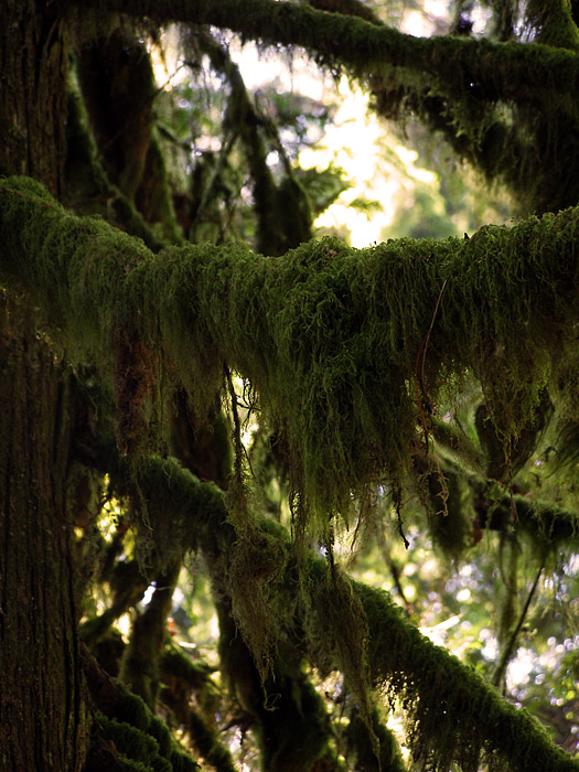 Moss on trees at Lynn Canyon on Vancouver's North Shore