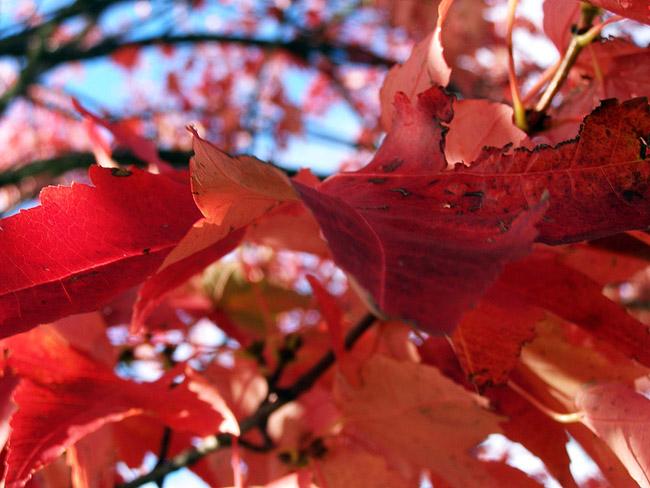 Red autumn leaves in Revelstoke