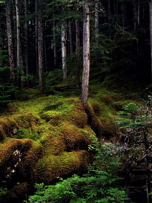 Carpet of moss around inland rainforest trees in Revelstoke