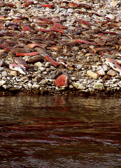 Dead salmon beached at Squilax