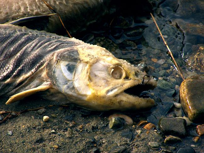 Dead salmon close-up
