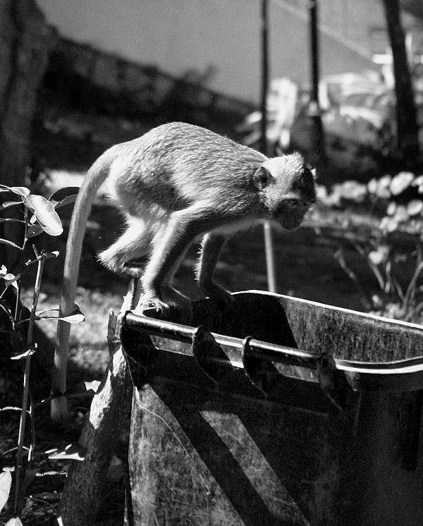 A daring monkey on a rubbish bin