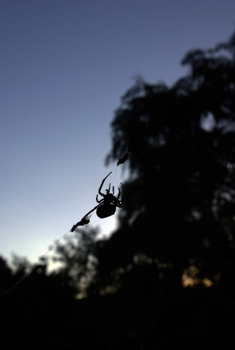 Orb-weaving spider silhouetted against a sunset in Adelaide, South Australia