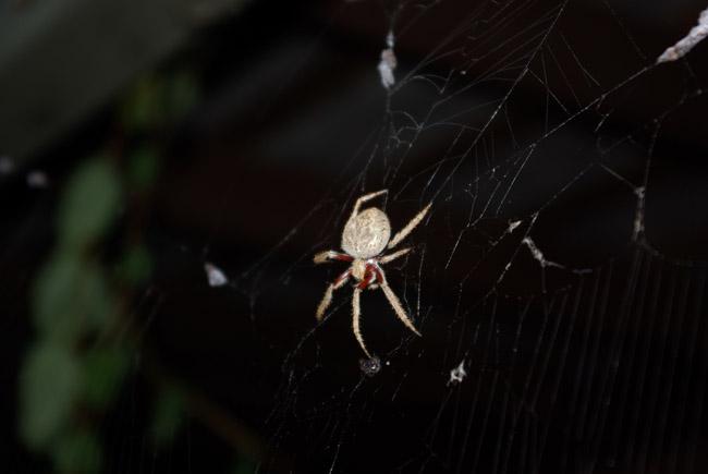 Orb-weaving spider macro in Adelaide, South Australia