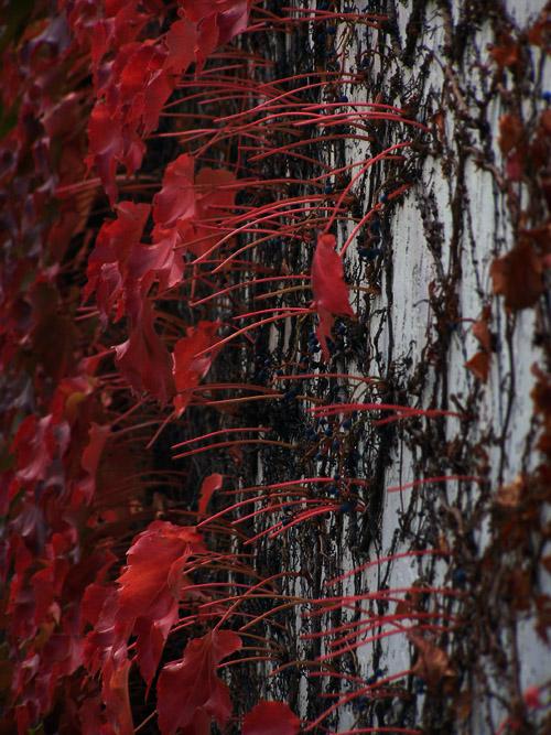 Autumnal wall foliage